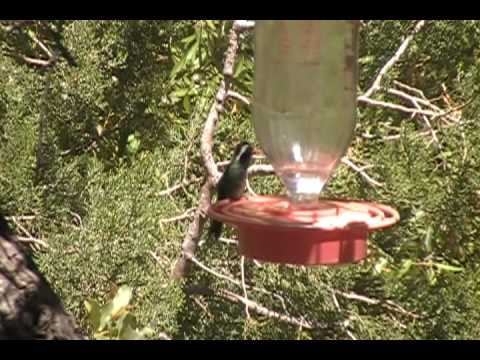 White-eared Hummingbird, Beatty's Guest Ranch, Hereford AZ, May 3, 2010