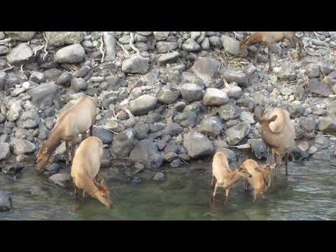 Elk Getting A Drink In The Yellowstone River