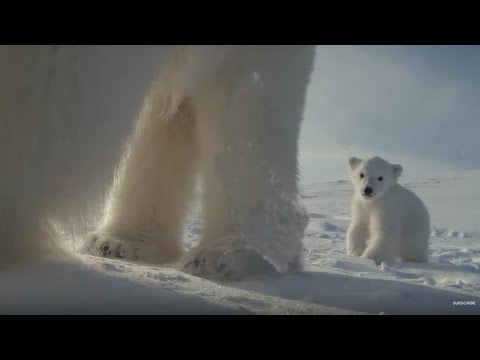 Polar bear helps film her own cub! | Polar Bear Spy On The Ice | BBC Earth