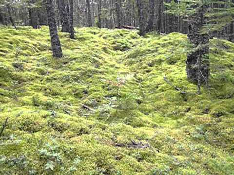 More Maine Moss Forest