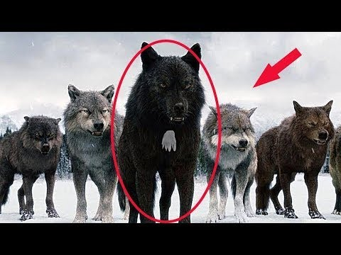 Download This is why hunters don't touch wolves with a white spot on their chest!