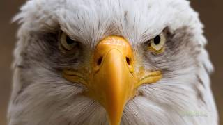 Download 🦅 5 best eagle attacks caught on camera Mp3 and Videos