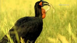 Hornbill VS venomous snake