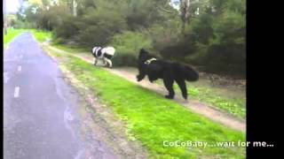 My Newfoundland Dog: Honeybun And Cocobaby Diary 06 To 11 July 2015