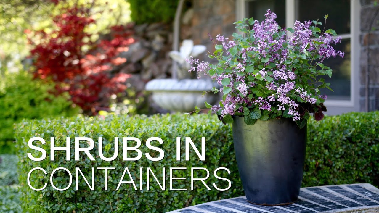 Planting shrubs in containers youtube for Garden shrubs