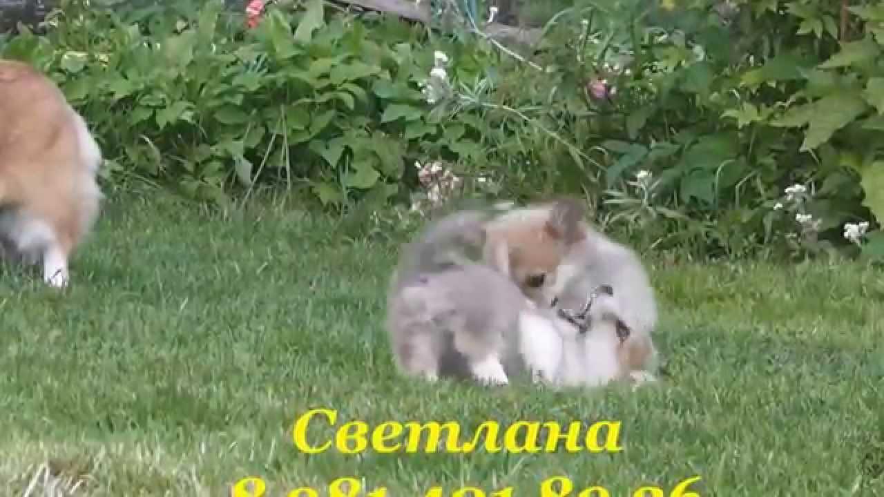 Продажа собак астана. На доске объявлений olx легко и быстро можно купить щенка. Заведи друга прямо сейчас!