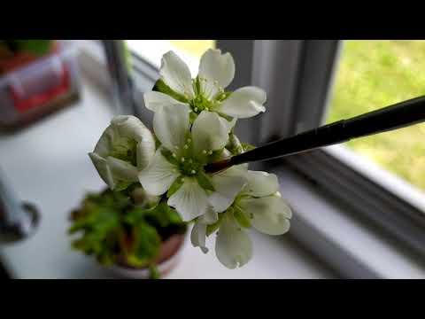 Растения-хищники на подоконнике.Опыление цветов Венериной Мухоловки -Дионеи.