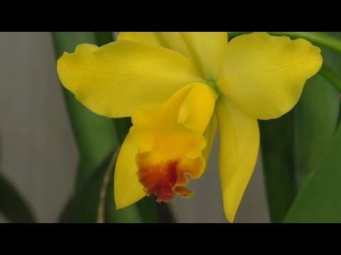 Орхидея Каттлея - от пересадки до цветения. Ответы на вопросы подписчиков.