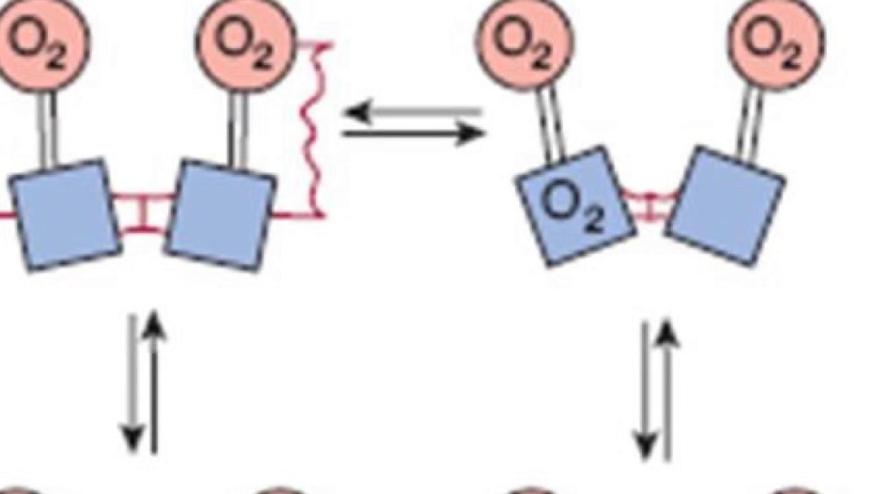 Tema 7 Proteínas Hemoglobina