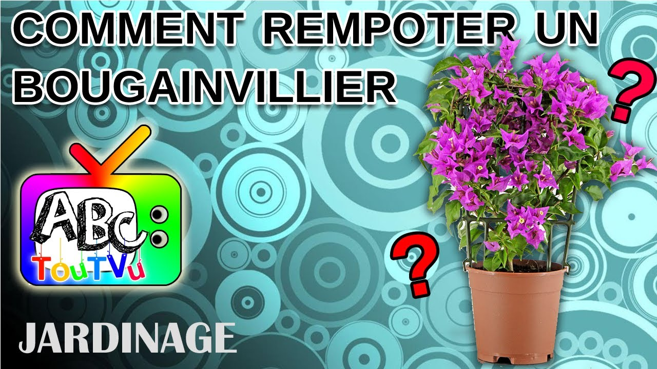 rempoter un bougainvillier - youtube