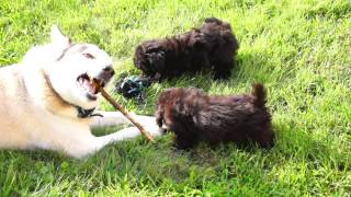 Toy Poodle Puppies Playing With Greenland Husky