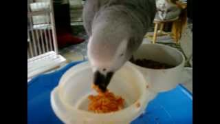 Zazu Congo African Grey eating tomato soup and crackers (sodium free)