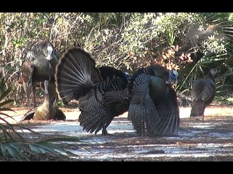 Awesome Osceola Turkey Hunt!