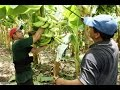 Características del Cultivo de Platano en los LLanos Orientales - TvAgro por Juan Gonzalo Angel