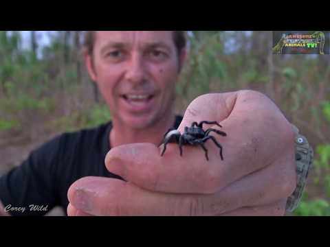 FUNNEL WEB SPIDER & MOUSE SPIDERS  What's More VENOMOUS?