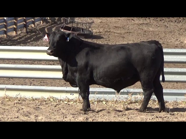 Connealy Angus Lot 247