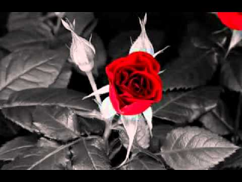 Falling Rose Petals Wallpaper Red Rose Black And White Background Youtube