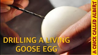 Drilling A Goose Egg to Save the Chick Inside