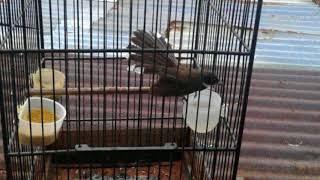 Langsung respon Terapi Burung Kipas lelet dan males bunyi
