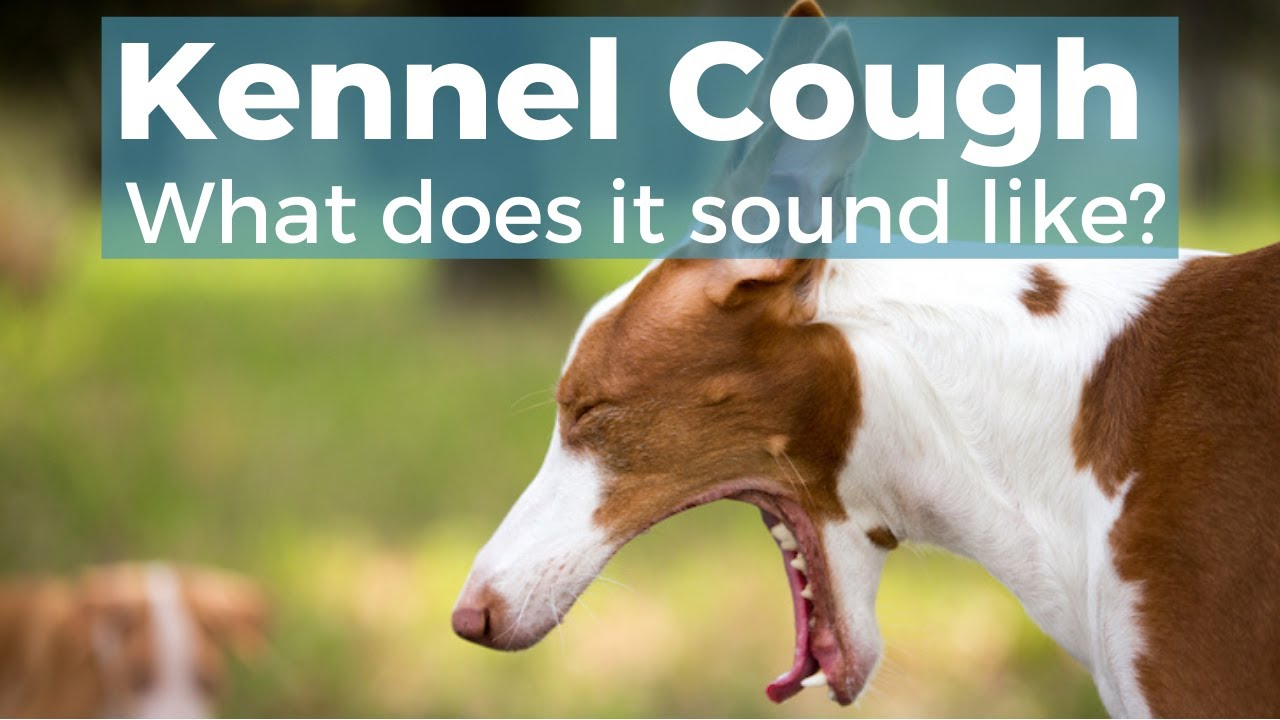 Kennel Cough In Dogs