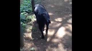 Black Lab With Joy - That
