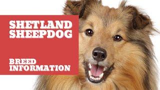 11 Important facts about Shetland Sheepdog  Shetland Sheepdog Dog Breed Information  #Sheltie