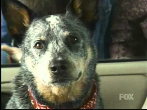 American Idol Ford Commercial starring Bob the Australian Cattle Dog