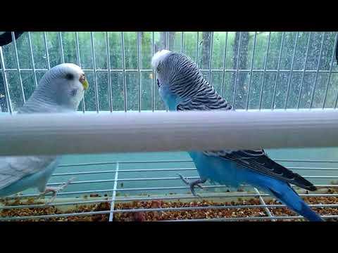 Все о попугайчиках