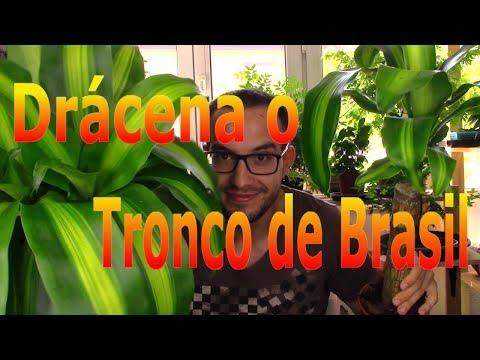 Platicero Bifurcatum Funnydogtv