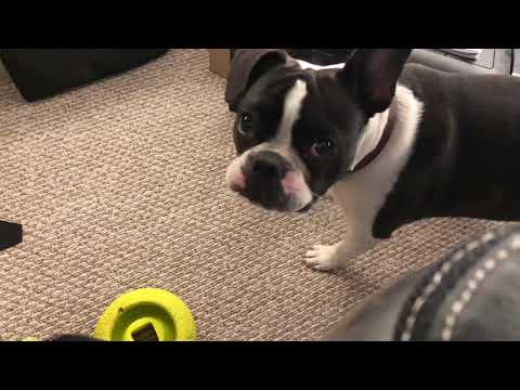 Frenchton throwing a fit over playing