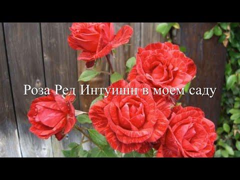 Роза Ред Интуишн в моем саду