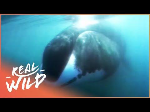 Ice Giants [Bowhead Whale Documentary] | Wild Things