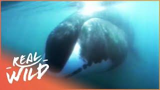 Ice Giants [Bowhead Whale Documentary] | Real Wild