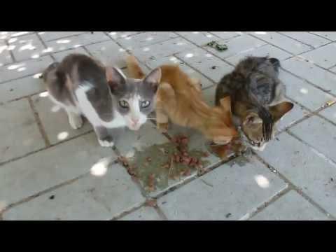 Wilde poezen voeren op Lesbos Griekenland. Feed wild cats in Greece. HD video.