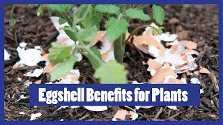Eggshell Fertilizer for Plants | How to Fertilize 2016 Urdu / Hindi