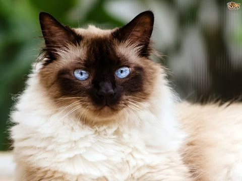 Himalayan Cat Breed | Facts about Himalayan-Persian Cats