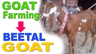 Goat Farming: Beetal Goat Characterstics - बीटल बकरी की विशेषताएं