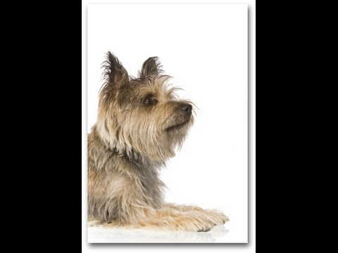 Cairn Terrier Temperament and Dog Breed Information - Dogs101