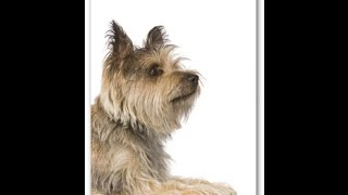 Cairn Terrier Temperament and Dog Breed Information  Dogs101