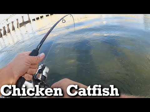 Fishing With CHICKEN For Blue Catfish And Channel Catfish!