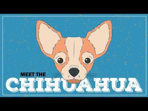 Breed Spotlight: the Chihuahua