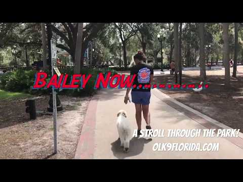 "1 year old Wheaten Terrier ""Bailey""/small dog trainers/best dog trainers orlando"