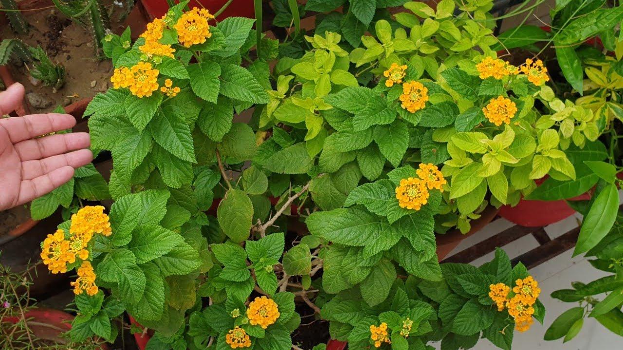 How to Grow and Care Lantana || Care of Lantana || Fun Gardening