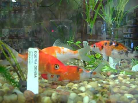 koi petco youtube