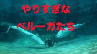 やりすぎなベルーガたちが超可愛い@名古屋港水族館 やりすぎ!!!イタズラくん 検索動画 28