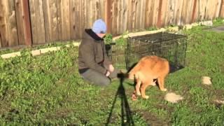 Canine Tutors, San Jose Dog Training, Humanely Crate Training A Golden Retriever Puppy
