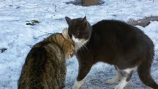 Cats Howling