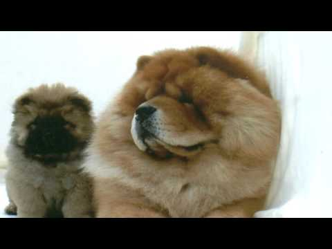 Chow Chow Deworming