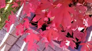 Japanese Maple - Leaf Problems