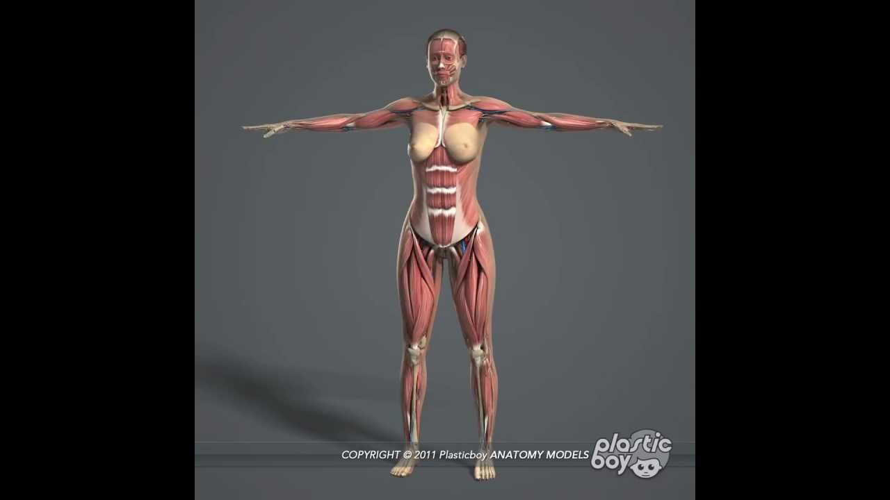 Human Female Anatomy Complete 3D Model Pack (Fully Textured) - www ...